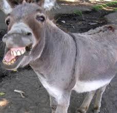 roaring donkey